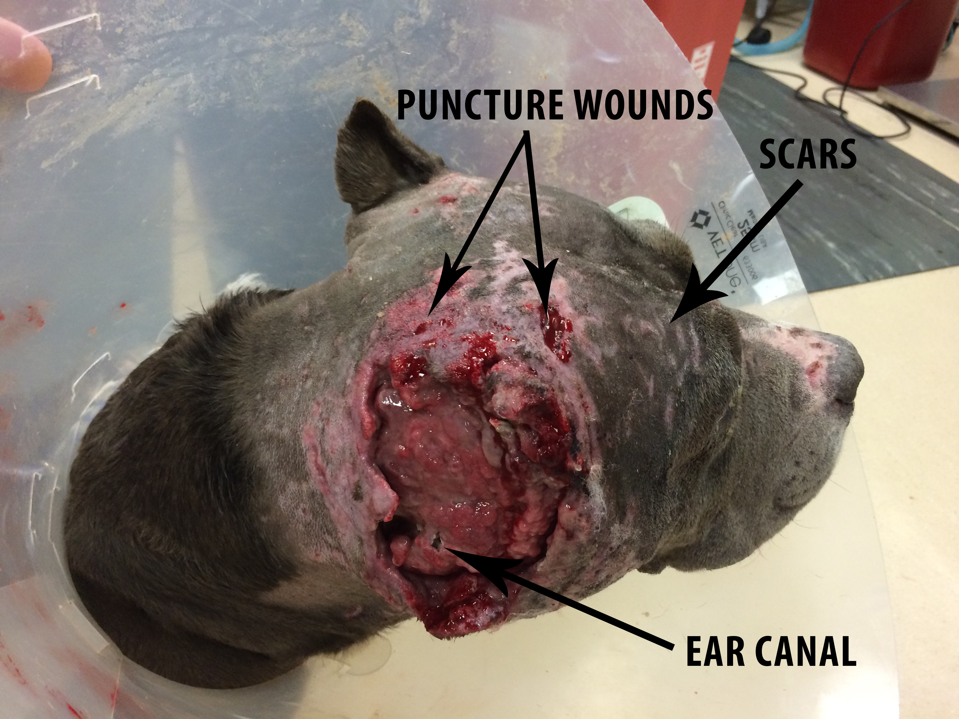 how to clean an infected wound on a dog