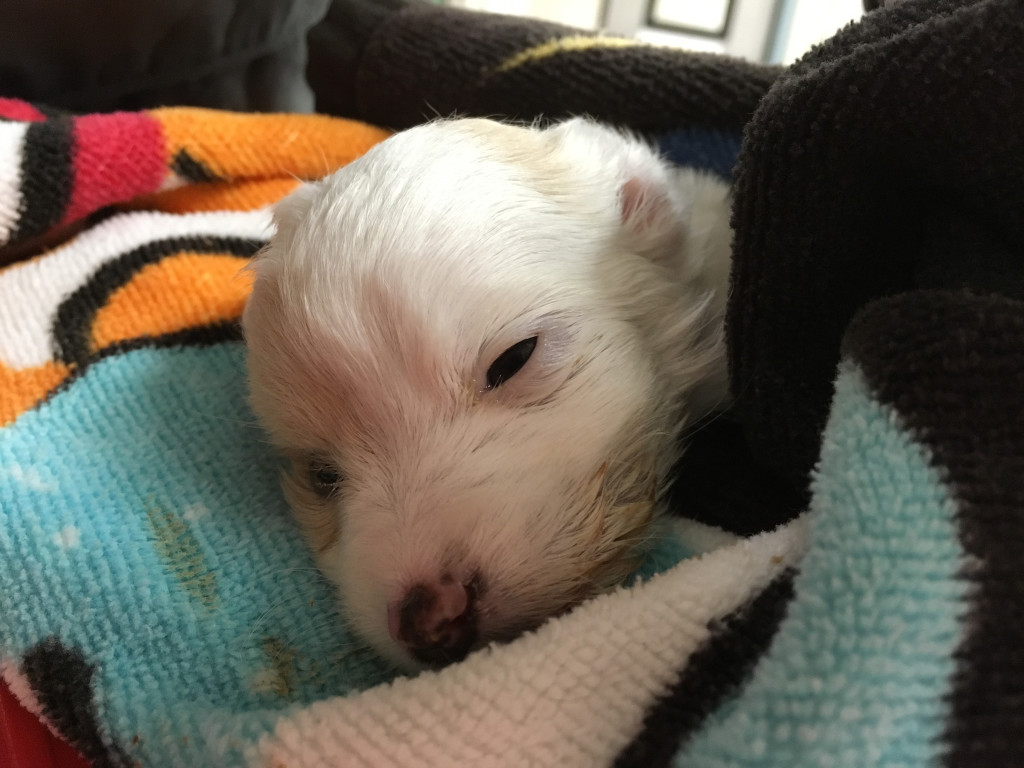 Two Days After Found in Park, Tiny Dying Puppy Brought to Shelter
