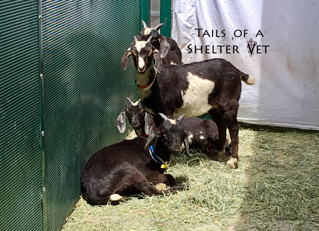 Animal Shelter's Heroic Rescue of Goats from a Fire Burn